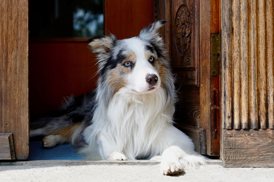 Bettwanzen-Spürhund Kent