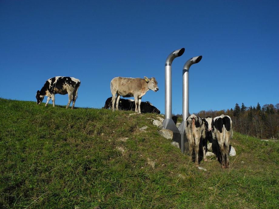 Kühe auf der Weide in Jura am Wanderweg