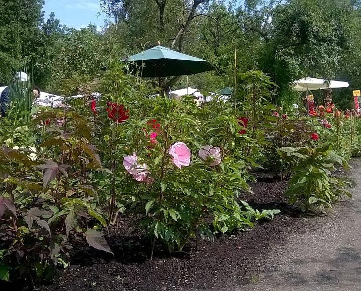 Staudenhibiskus-Gärtnerei Bartels, Delmenhorst-Stauden-Hibiskus-Sommerblüher im Küchengarten von Schloss Ippenburg-Hibiskusblüten-Rohkost-Tee, knackig-frisch wie Salat