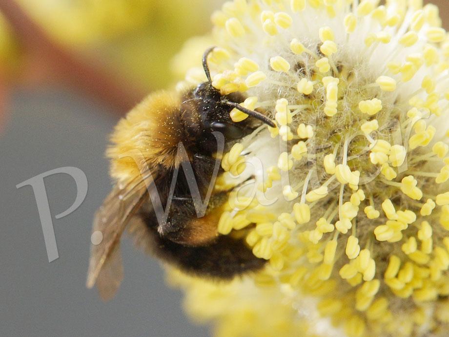 23.03.2015 : Weibchen der Rotbeinigen Lockensandbiene, Andrena clarkella, an Weideblüten