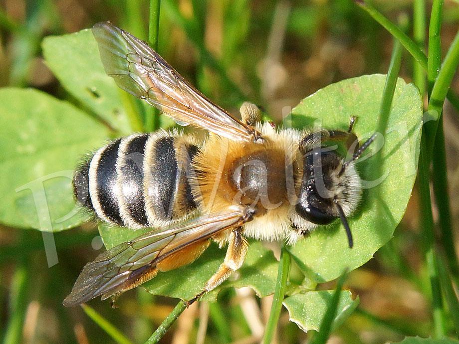 10.04.2016 : Weiße Bindensandbiene, Weibchen bei einer kleinen Ruhepause