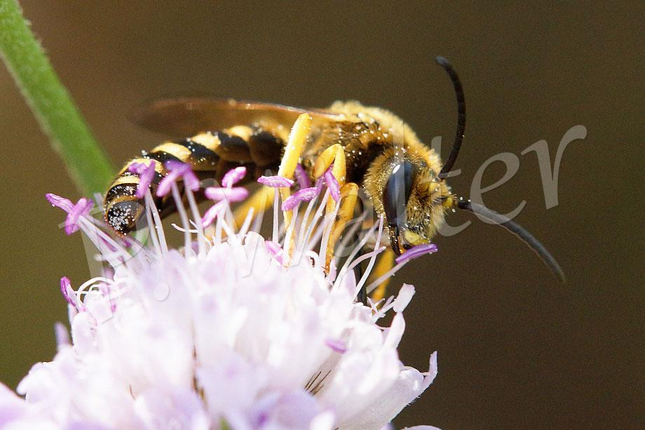 18.08.2018 : Gelbbindige Furchenbiene, Halictus scabiosae, Männchen, an einer Skabiosenblüte