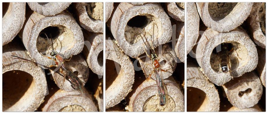 Bild: Schlupfwespe parasieiert ein Mauerbienennest, Perithous septemcinctorius