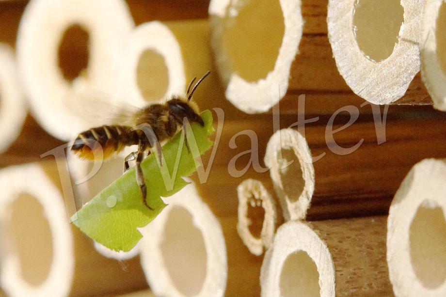 Bild: Blattschneiderbiene, Megachile spec., Weibchen, Rosenblatt, Flug, Nistgang, Bambusstengel