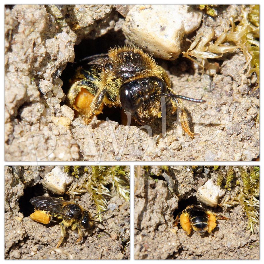 18.06.2017 : Weibchen der Waldschenkelbiene, vollgepackt mit Pollen