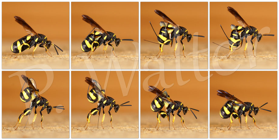 Bild: Erzwespe, Leucopsis dorsigera, Parasit u.a. bei Mauerbienen