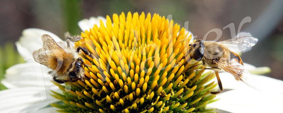 18.08.2018 : an der neuen Echinacea haben nicht nur die Hummeln ihren Spaß, sondern auch die Schwebfliegen ...