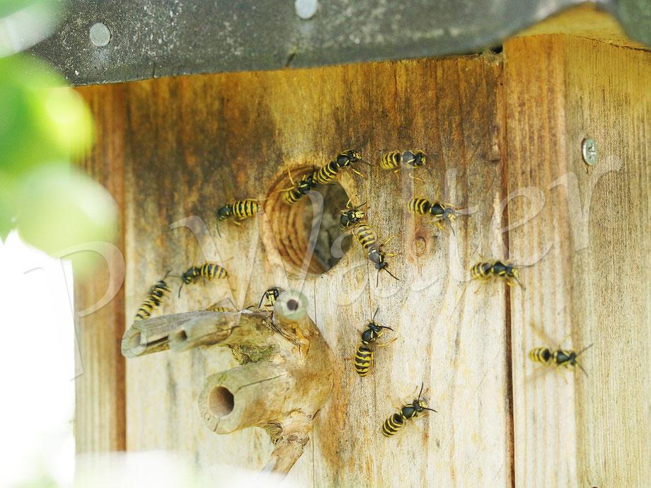 """Bild: """"unser"""" Wespennest (Sächsische Wespe) im Blaumeisenkasten - aufgrund der heißen Temperaturen scheinen sie hier Wind hineinfächern zu wollen"""