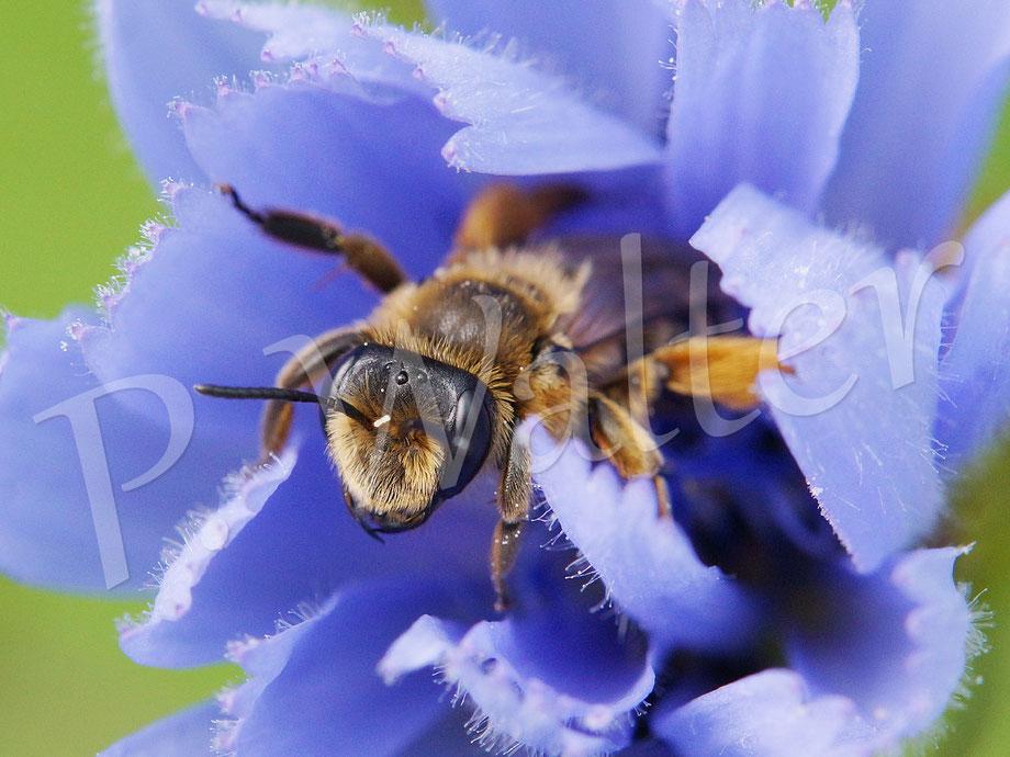 30.06.2016 : Wildbiene in aufgehender Wegwartenblüte