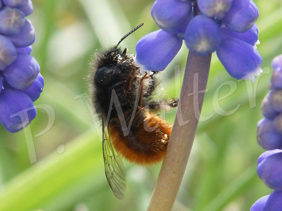 Bild: Gehörnte Mauerbiene, Weibchen, Osmia cornuta, an der Traubenhyazinthe