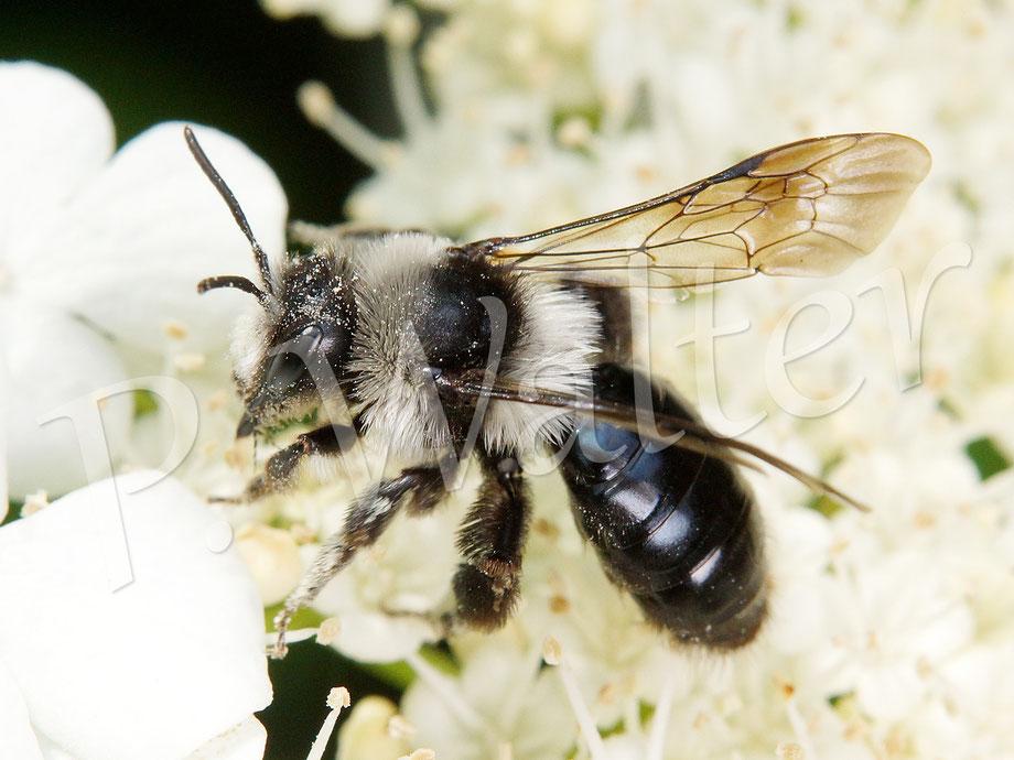 28.05.2016 : Graue Sandbiene an den Blüten des Gemeinen Schneeballs