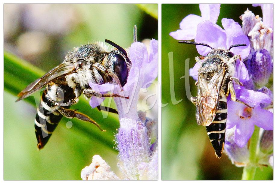 Bild: Kegelbiene, Coelioxys aurolimbata, Lavendel