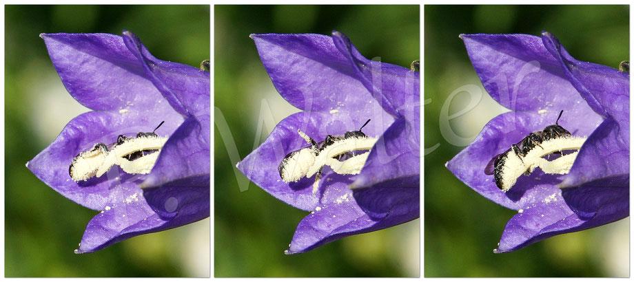 Bild: Glockenblumen-Scherenbiene, Osmia rapunculi, Blüte, Pfirsichblättrige Glockenblume, Bauchbürste, Pollen
