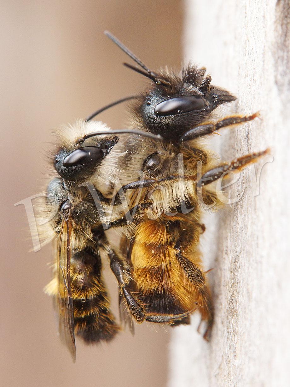 Bild: Rostrote Mauerbienen, Osmia bicornis, Paarung