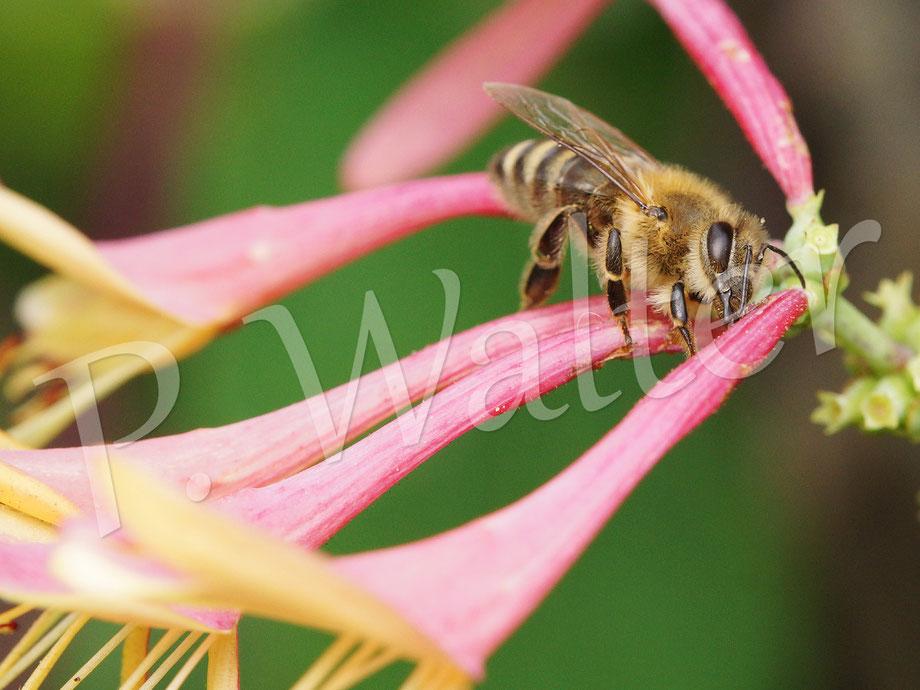 20.07.2014 : Honigbiene verschafft sich bei den langstieligen Blüten des Waldgeißblatts auf ihre Art Zugang zum Nektar ...