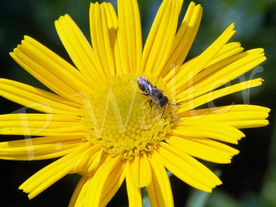 Bild: Löcherbiene, Osmia trucorum, Blüte, Ochsenauge