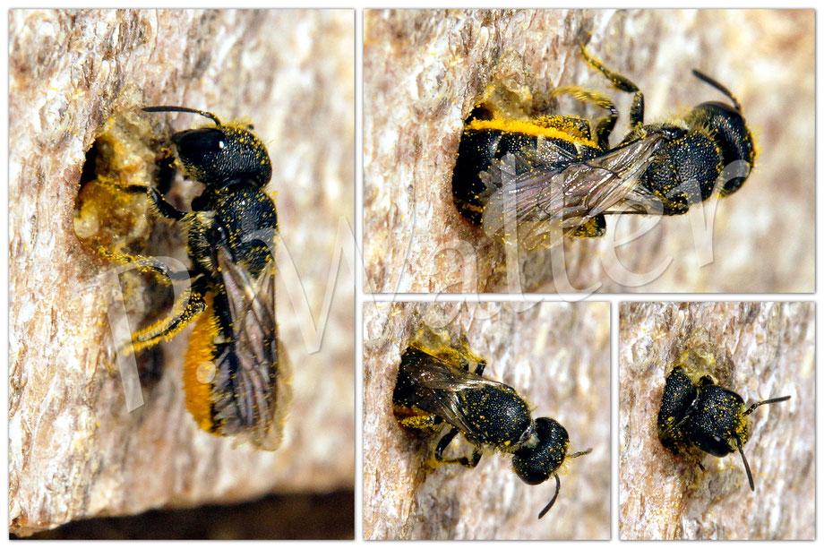 13.08.2017 : Löcherbiene, vollgepackt mit Pollen (Löwenzahn ?), wie sie rückwärts wieder in ihren Nistgang krabbelt ...