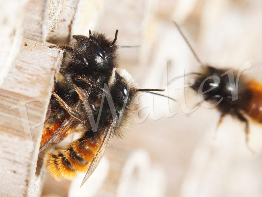 Bild: Gehörnte Mauerbiene, Osmia cornuta, Paarung