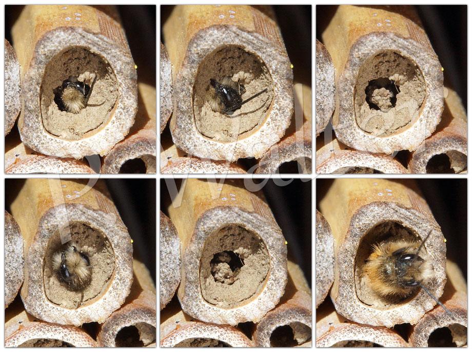 Bild: Schlupf eines Männchens der Rostroten Mauerbiene, Osmia bicornis, aus ihrer Nistkammer
