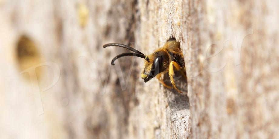 Bild: Männchen der Gelbbindigen Furchenbiene, Halictus scabiosae, Schlafplatz, Bohrloch