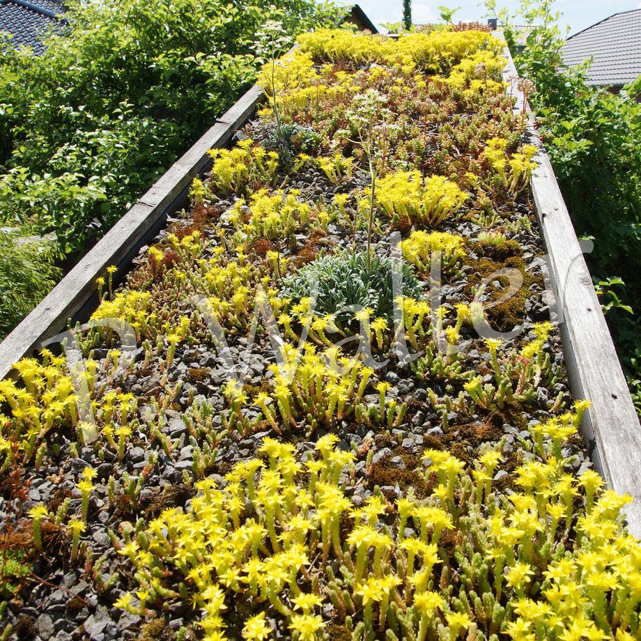 Bild: Dachbepflanzung, Mauerpfeffer, Sedum, Sempervivum, Steinbrech, Saxifraga