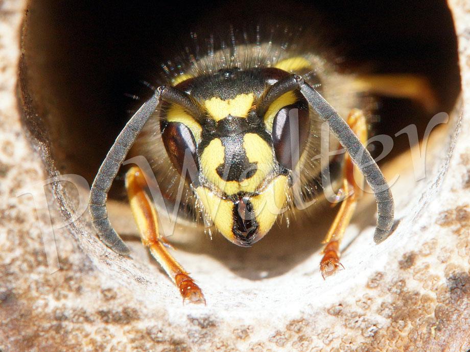 30.04.2017 : eine von drei/vier Wespen, die sich seit ein paar Tagen immer wieder in den Baumbusstengeln aufhalten ...