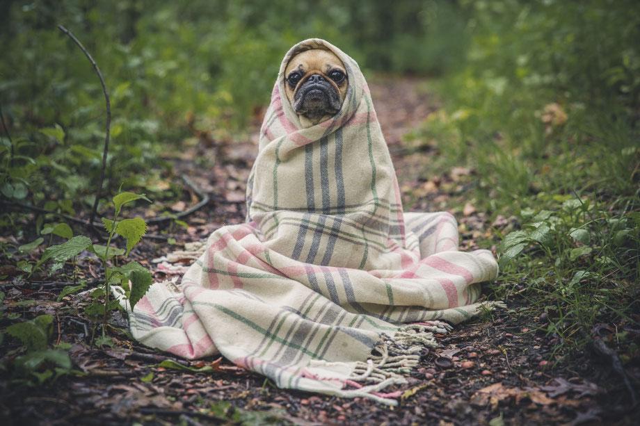 Ein kleiner Hund ist in eine Decke gewickelt und guckt traurig, da er erkältet ist.