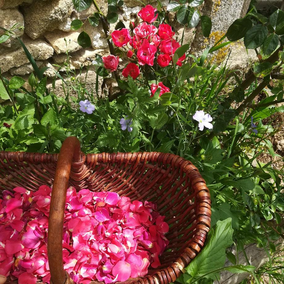 Récolter les pétales de roses pour la savonnerie