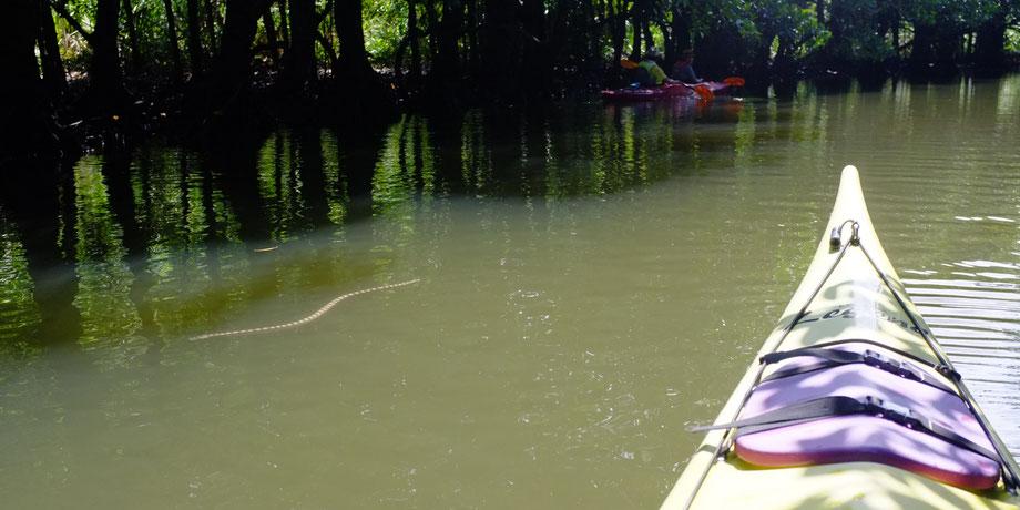 西表島・ガイドにおまかせツアー【マングローブカヌー】クロボシウミヘビ