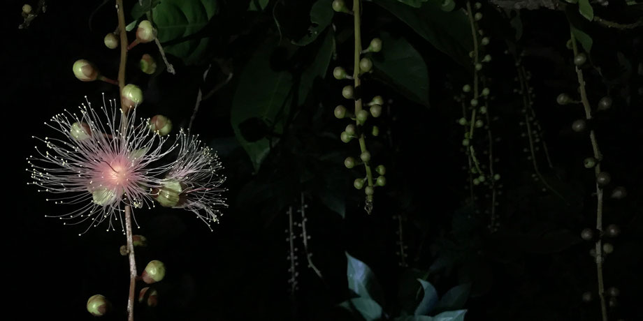 西表島・早朝カヌー/カヤックツアー【サガリバナ&滝遊び】