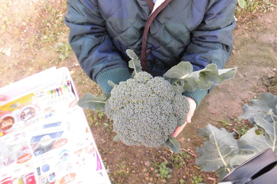 収穫したブロッコリーを持っている様子