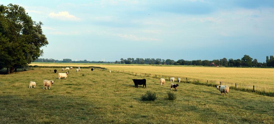 Galloway Herde auf der Weide - Plate Galloway Otterndorf