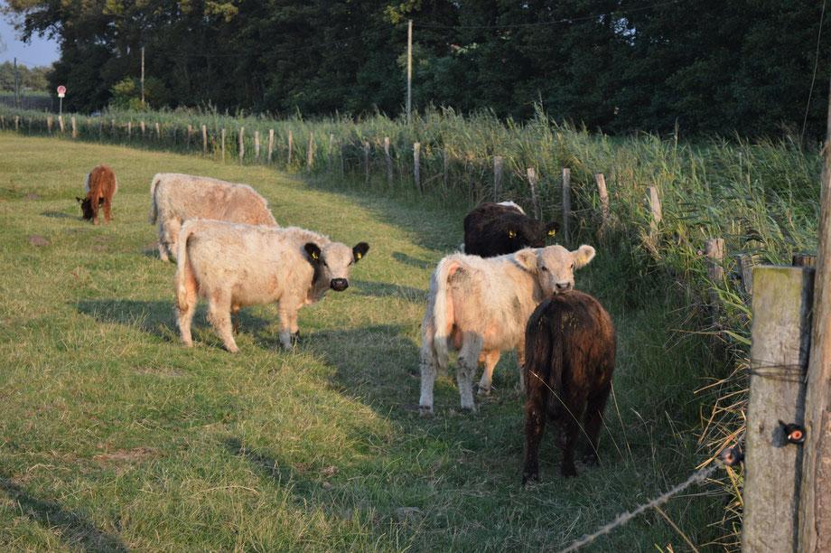 Direkt am Elbdeich leben unsere Galloways auf grünen Weiden
