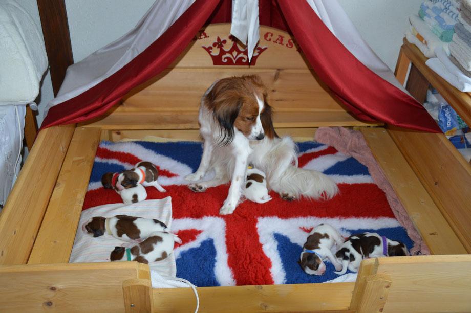 """British"" Canine Gentility"
