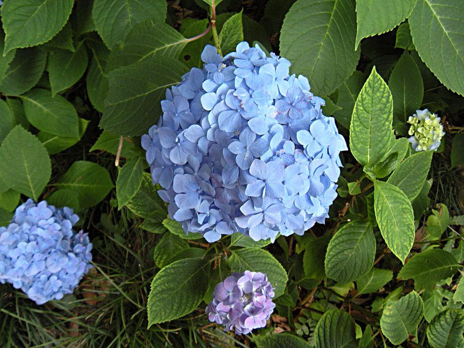 矢田寺に咲くアジサイ