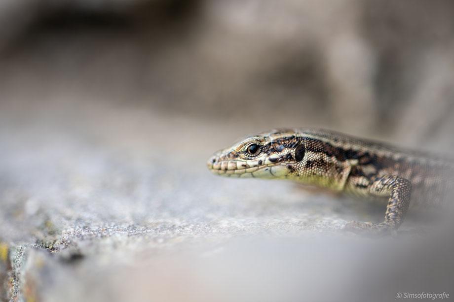 swans sieglarer See