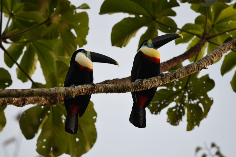 white-breasted Toucans in the Amboro Nationalpark