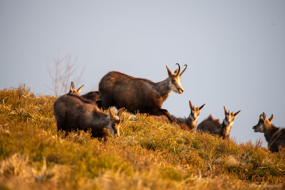 great spotted woodpeckar with its chik
