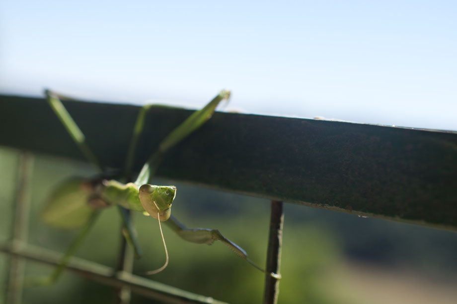 praying mantis, Gottesanbeterin, Iguazu
