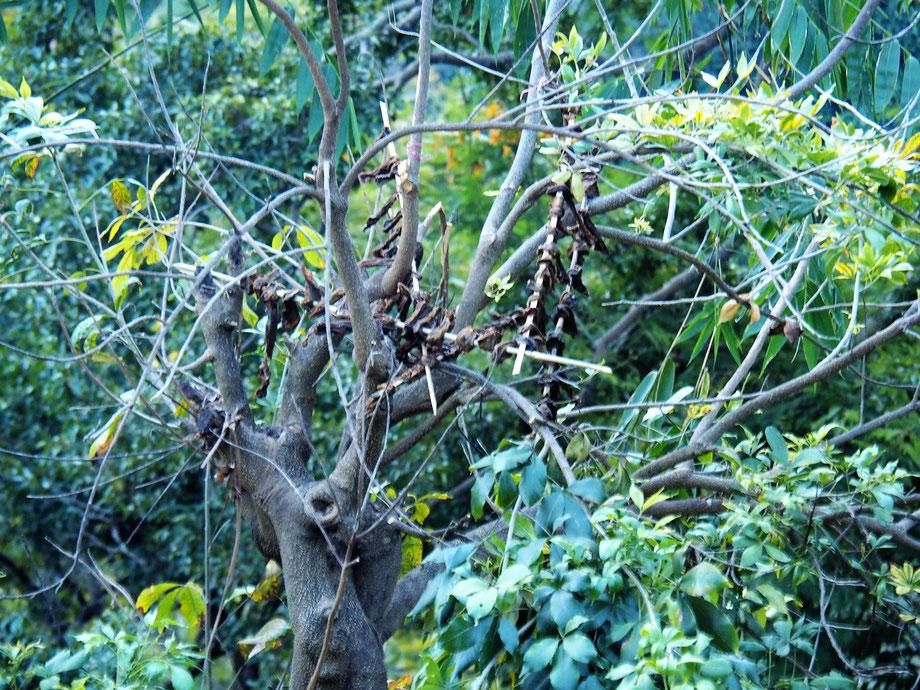 Zum Trocknen im Baum aufgehängtes Fleisch
