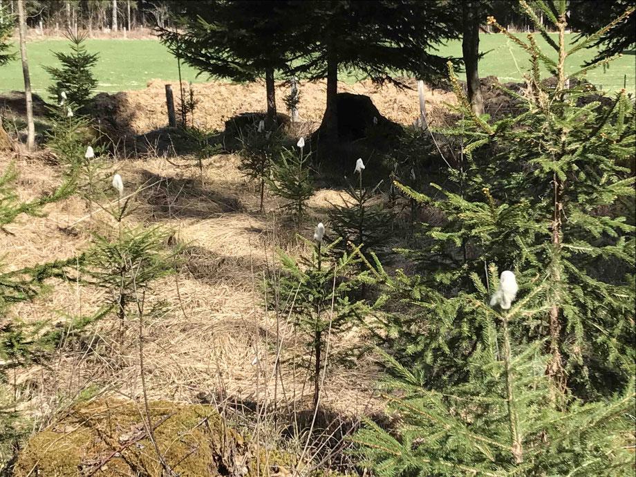 Schutz vor Wildverbiss auf österreichisch: Schafwollmützchen für die jungen Bäume. Rehe mögen den Gestank von Schaffett nicht.