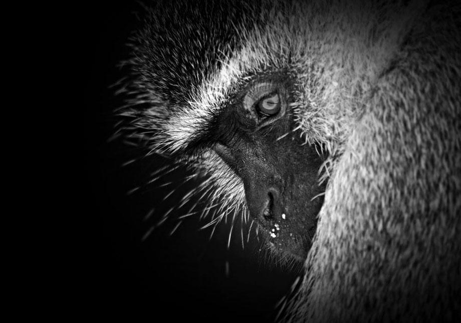 """""""vervet monkey"""""""