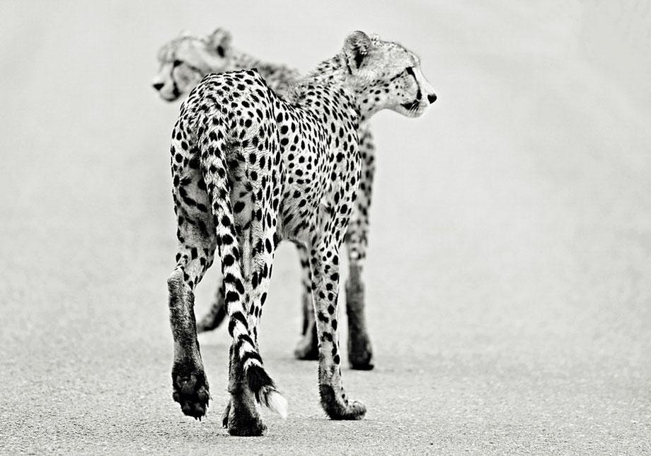 """cheetah"""