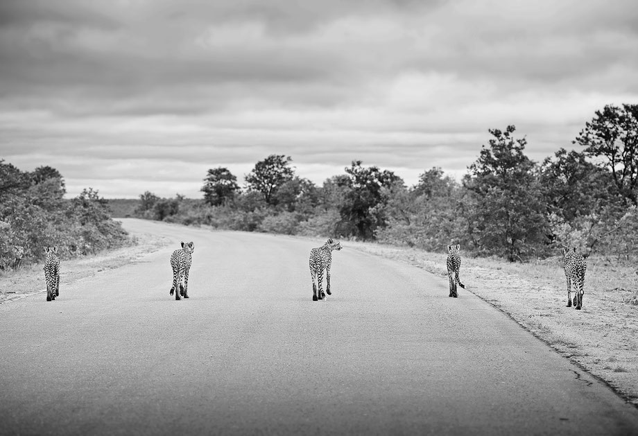 """cheetahs in the road"""