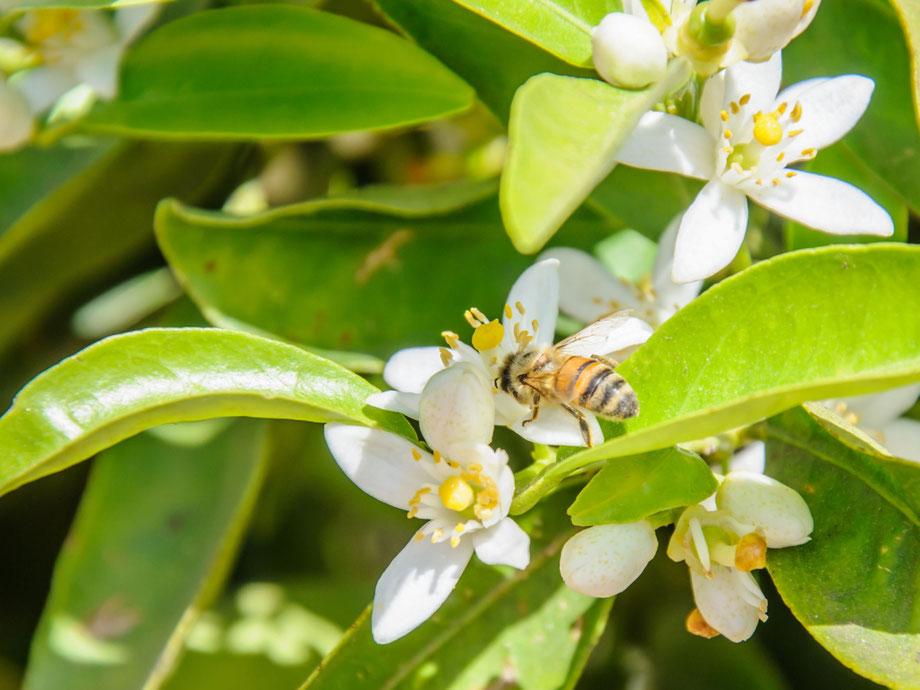 【国産純粋蜂蜜】みかんはちみつ,はちみつオンライン通販ビーハニー