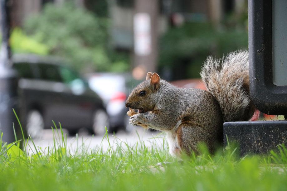 Écureuil gris de l'Est, Montréal