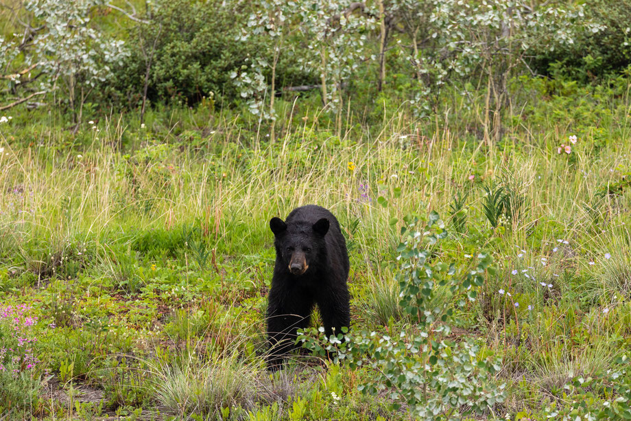 Ours noir, Wells Gray Provincial Park