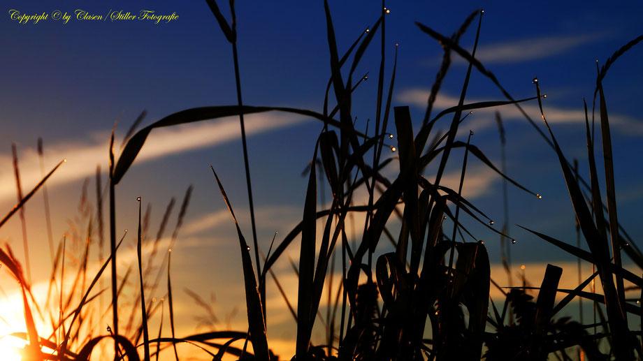 Wassertropfen, Gräser, Sonnenaufgang