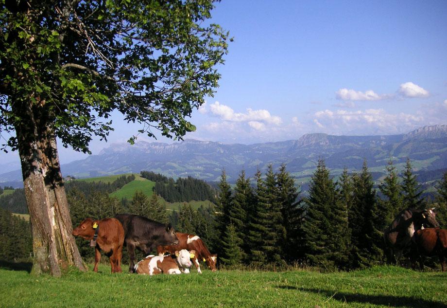 Kühe auf der schweizer Weide mit Ausblick über das Mittelland und den Jura