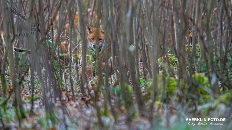 Fuchs im Gesträuch versteckt, Heckengäu